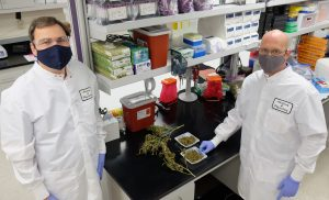 Kansas State University veterinary researchers Hans Coetzee, left, and Michael Kleinhenz are studying the safety of using industrial hemp buds in feed for cattle. As a production crop in Kansas, hemp hasn't yet found its footing. (Submitted/Kansas Reflector)