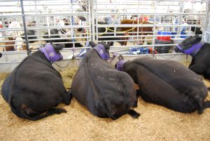 The commercial aspects of the Kansas State Fair were called off due to COVID-19, but some livestock events are to be held this month at the fair in Hutchinson without public attendance. (Tim Carpenter/Kansas Reflector)