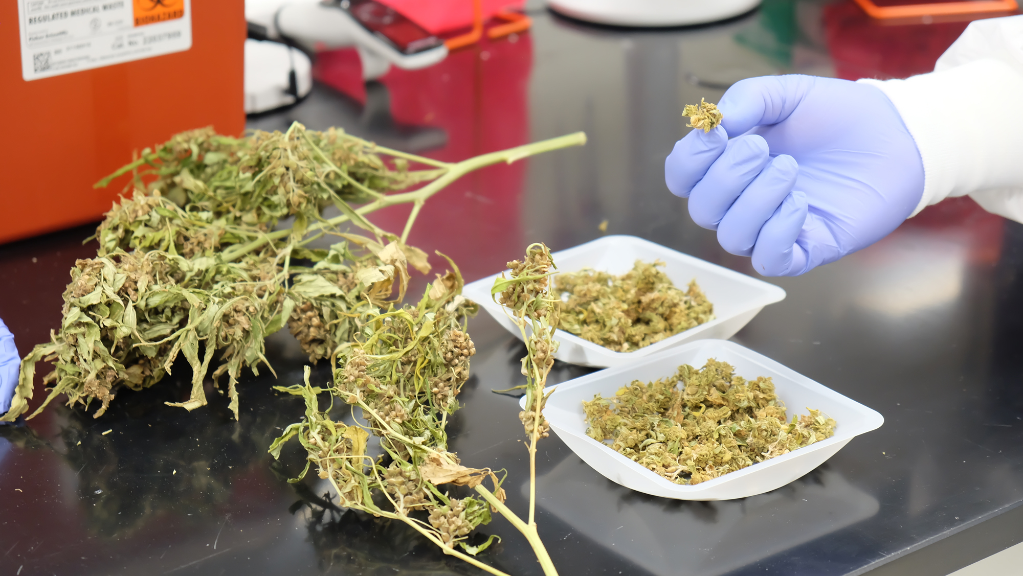 The Kansas Legislature's auditors say industrial hemp remains a risky crop but growing expertise and development of markets for the plants fiber, grain and floral parts could generate more than $20 million annually in revenue within several years. (Submitted/Kansas Reflector)