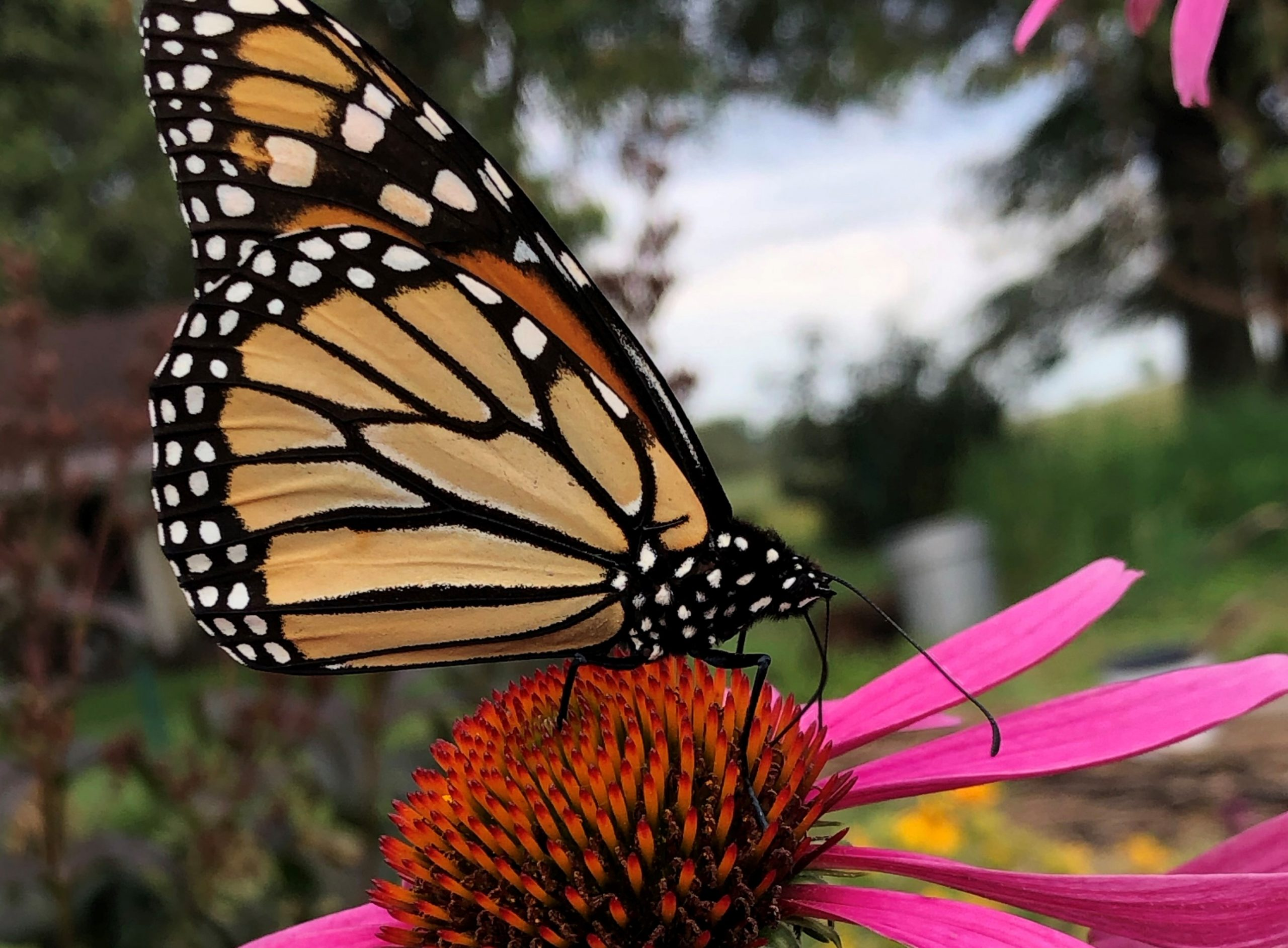 Monarch butterflies qualify for endangered list, but officials may not take action until 2024