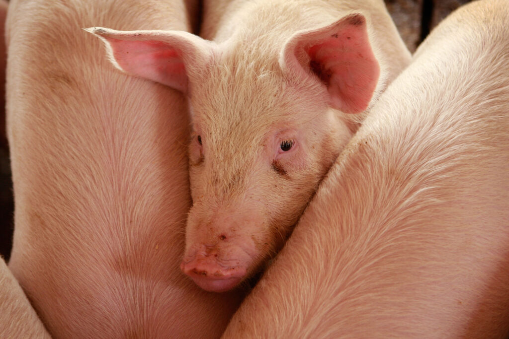 A Phillips County jury awarded landowners $134,000 after a prominent Kansas hog producer illegally installed pipe on their property to transfer liquified waste from a confined-animal facility so it could be sprayed on fields from irrigation pivots. A judge hasn't set punitive damages against Terry Nelson and Julia Nelson of northcentral Kansas. (Scott Olson/Getty Images)