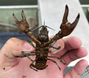 The Kansas Department of Wildlife and Parks says sampling at McPherson State Fishing Lake discovered the invasive Rusty Crayfish, which was likely added to the lake when used as fishing bait. (KDWP)